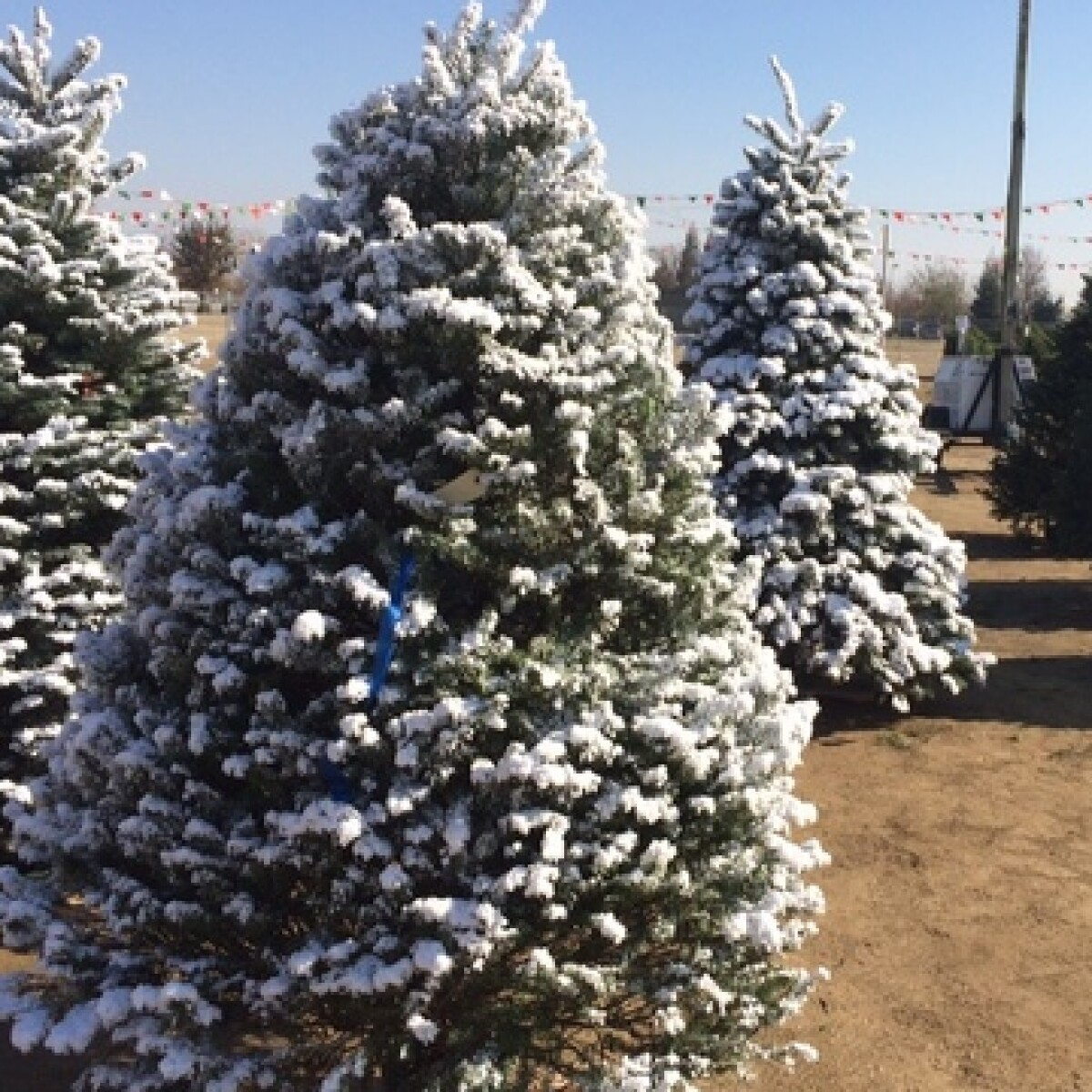 Local Christmas Trees: Several Options Available For Recycling Christmas Trees In