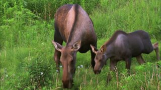 Some lawmakers favor a moose hunt at Isle Royale