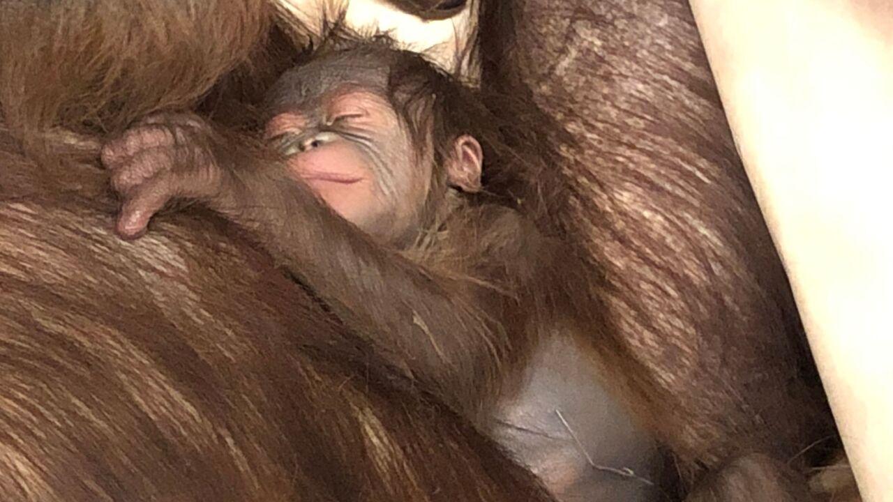 Orangutan.jpeg