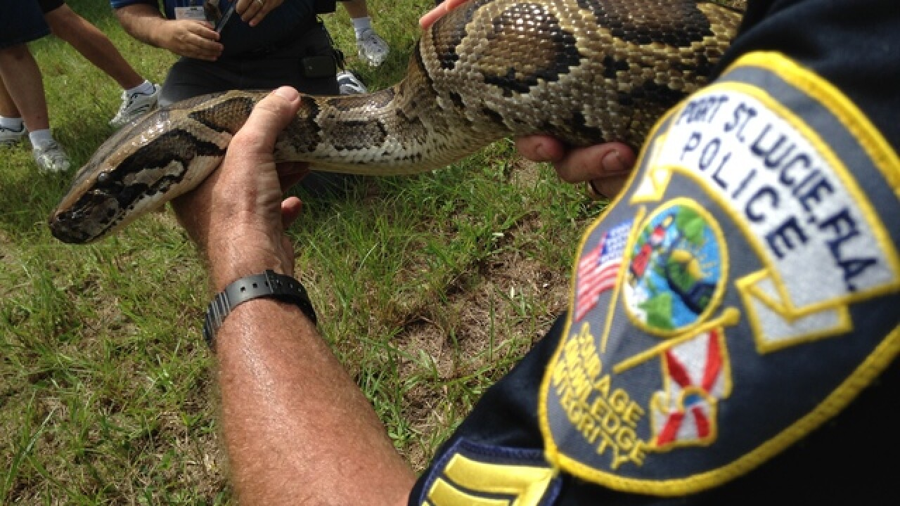 12-foot Burmese python caught in Port St. Lucie