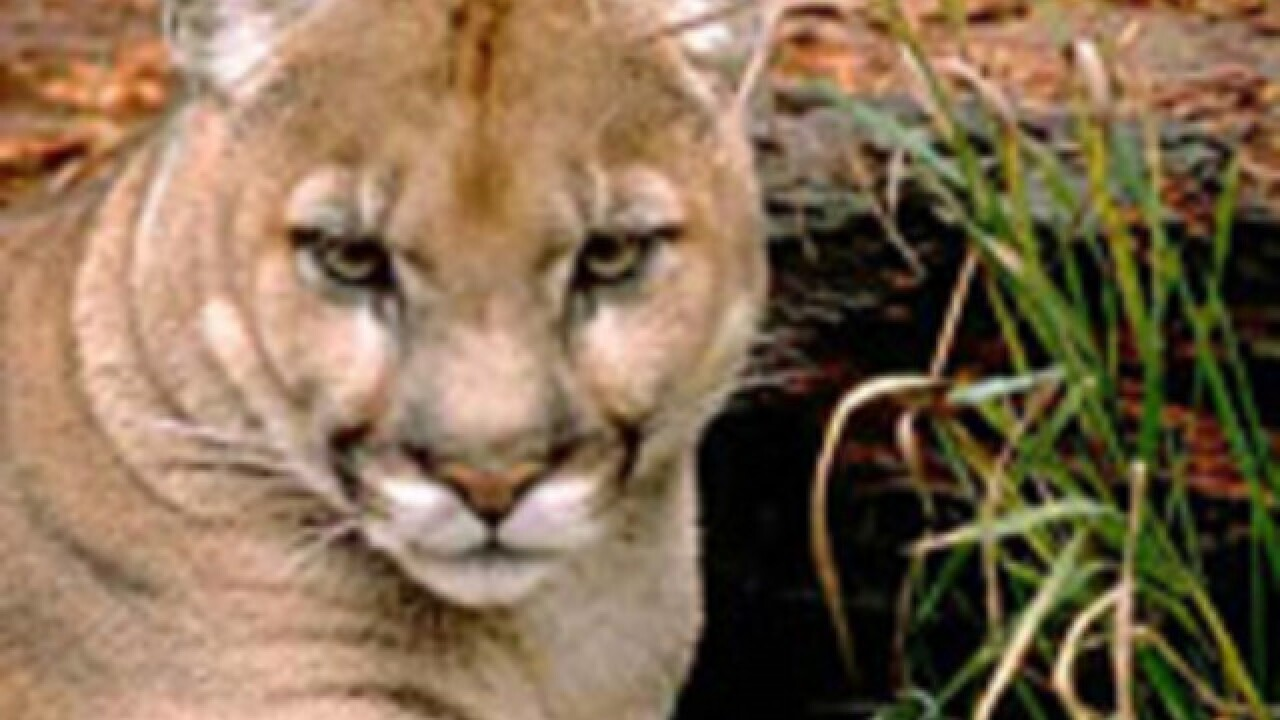 Florida panther struck, killed by vehicle