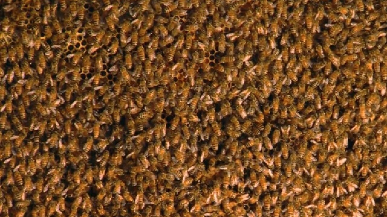 Thousands of honeybees rescued from colony in Ohio garage
