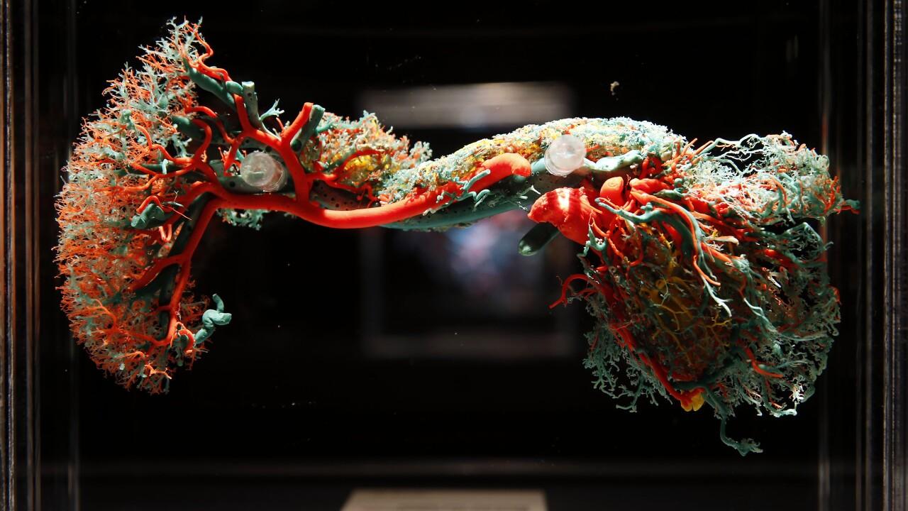 Arteries Capilaries_BODIES exhibition