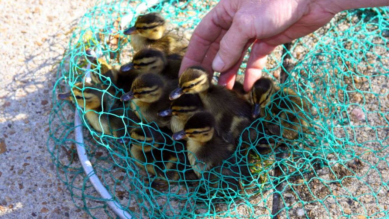 10 baby ducklings rescued from storm drain at Norfolkairport