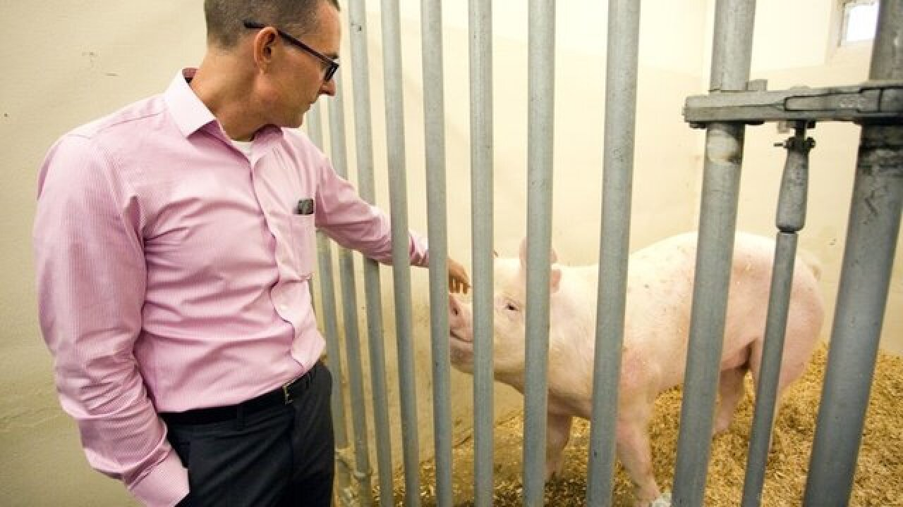 WSU scientist working on a CRISPR way to bacon