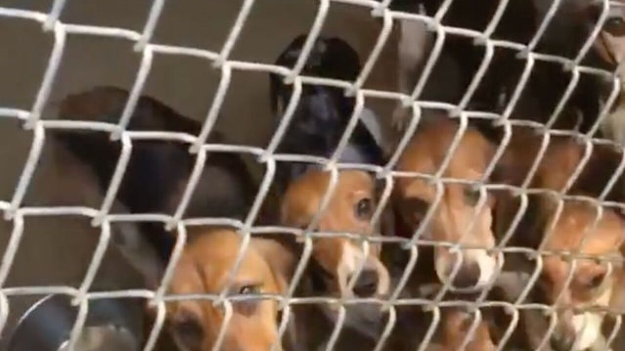 Sitemap Wiring Jaw Shut 71 Beagles Rescued From Small Pennsylvania Home