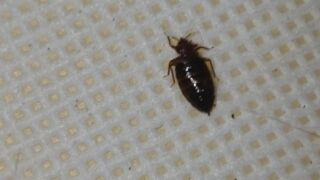 Bed Bug sighting from Just Bed Bugs Pest Control in Colorado Springs