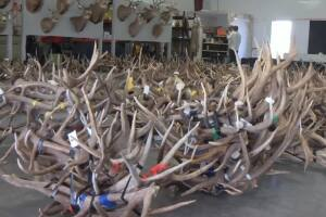 Wildlife trophies sold at Billings auction