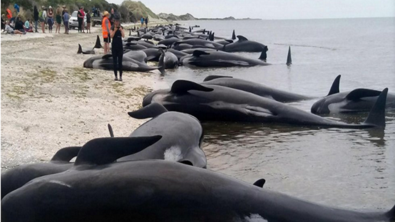 Hundreds of whales dead after mass stranding in New Zealand