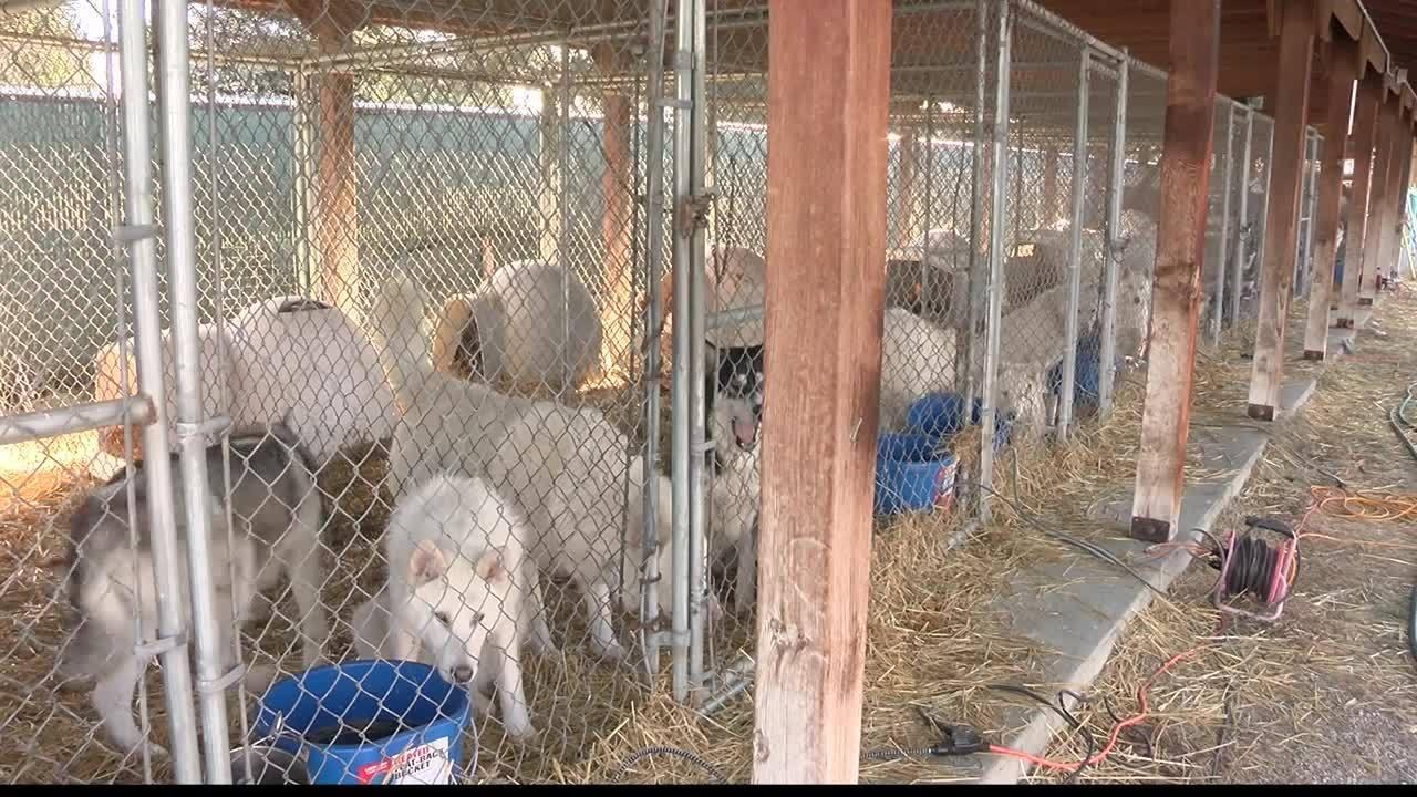 Rescued Huskies