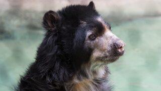 Reid Park Zoo's Andean bear 'Worf' dies