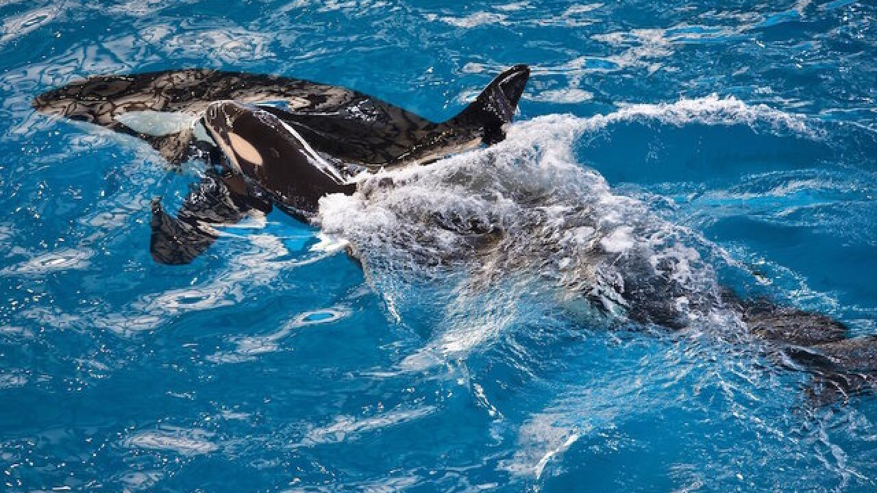 Last whale to be born at SeaWorld, dies