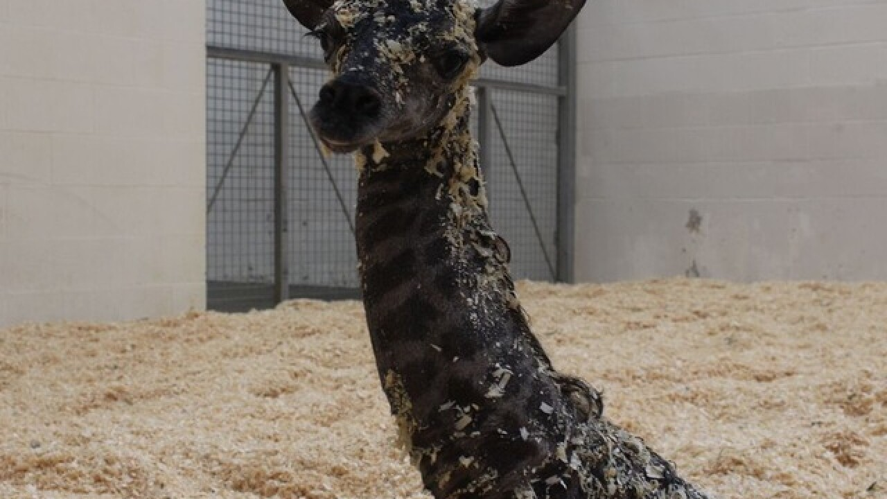 WATCH: Baby giraffe tries to walk