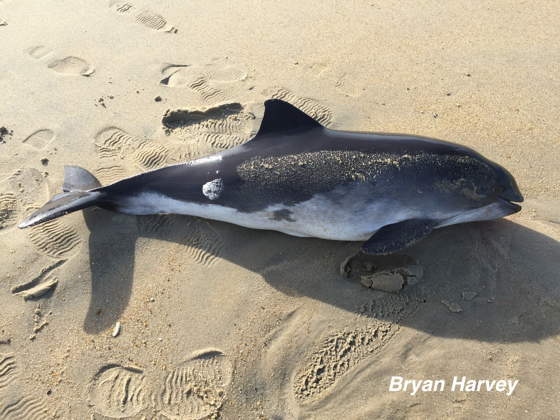 Photos: Two whales and a porpoise wash up on the Outer Banks
