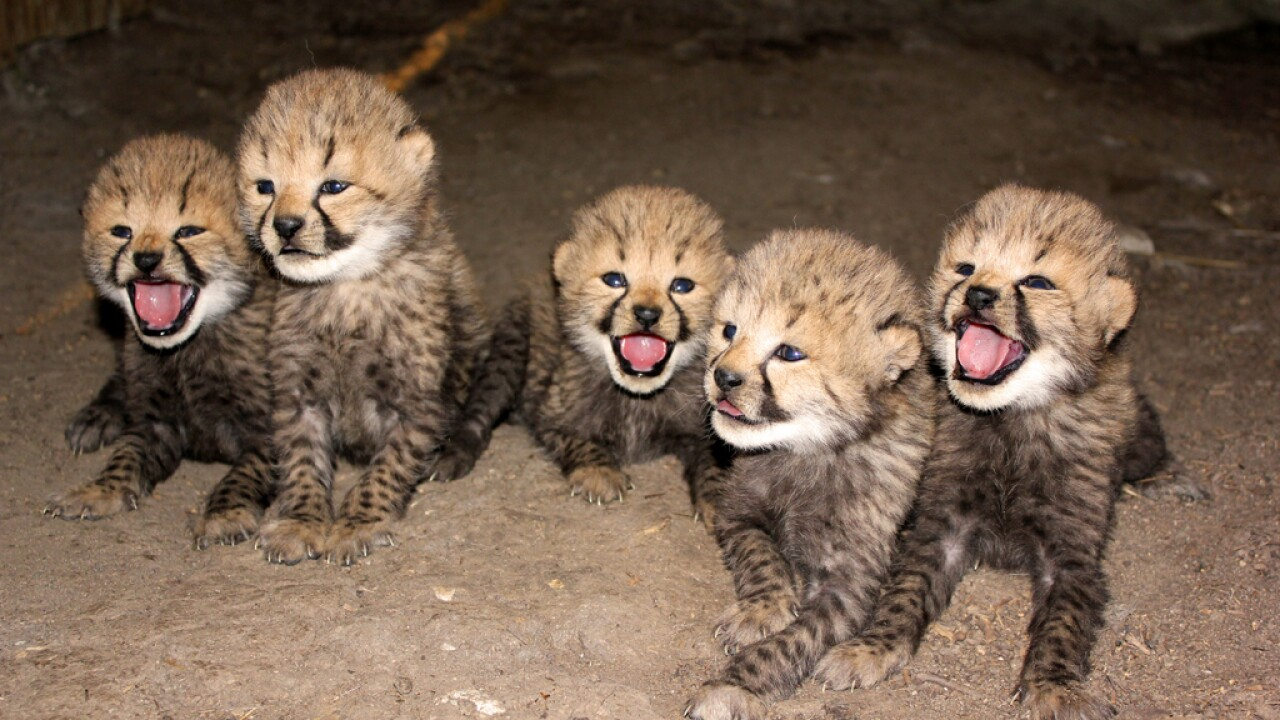 PICTURES: 5 cheetah cubs born at Metro Richmond Zoo
