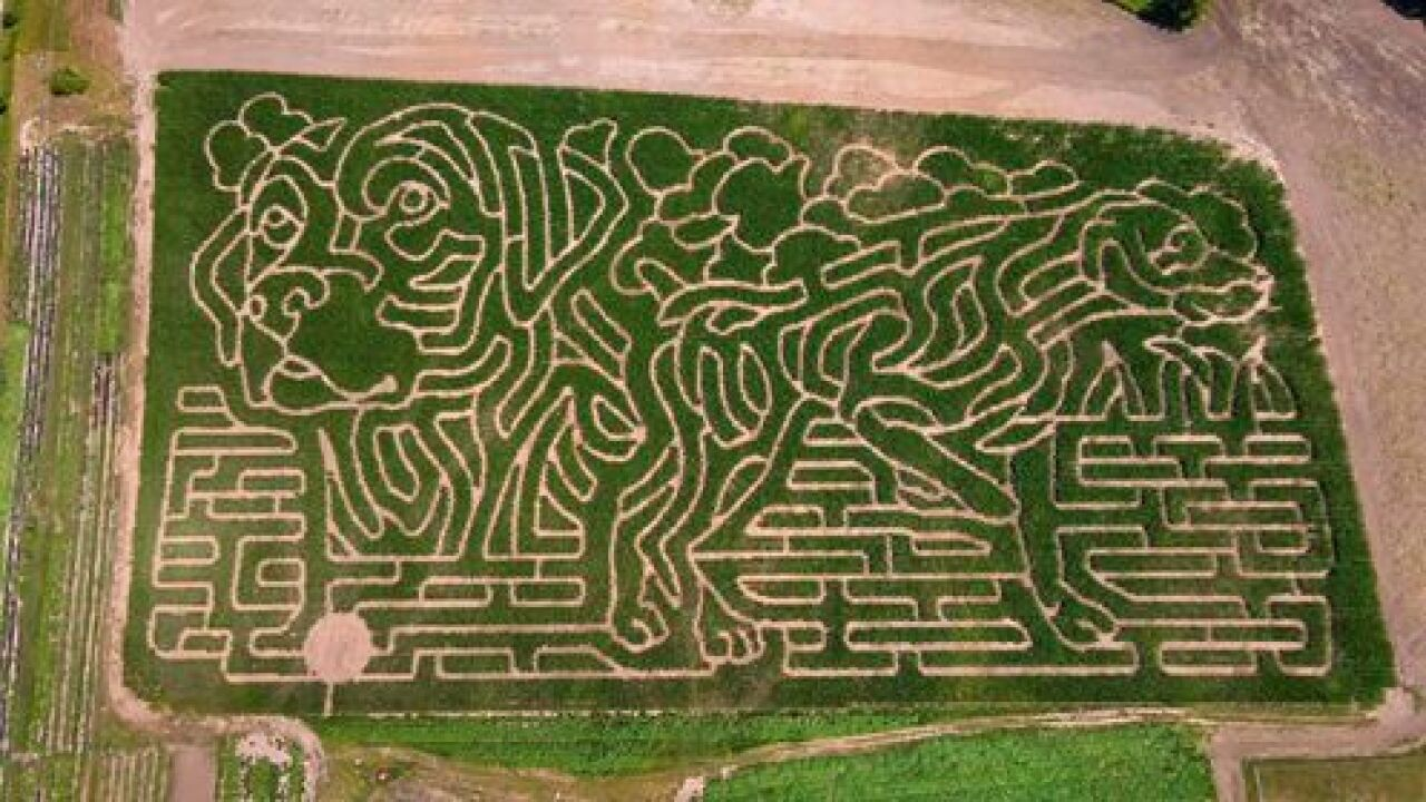 Dog-shaped corn maze opens at family-owned Kent County farm