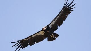 California condor AP Photo