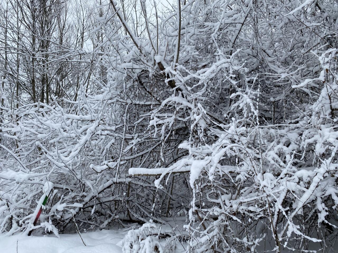 snow on trees 2.jpg