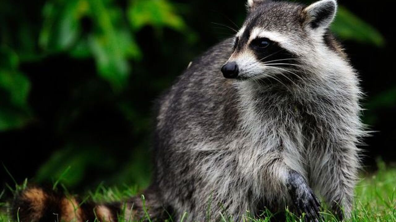'Zombie-like' Ohio raccoons are baring their teeth, walking on hind legs