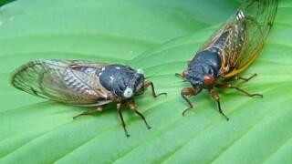 Blue Eyed Cicadas.jpg