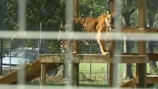 Tiger bites staff member at Carole Baskin's Big Cat Rescue in Tampa
