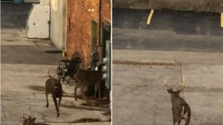 """Deer spotted """"shopping"""" in downtown De Pere"""
