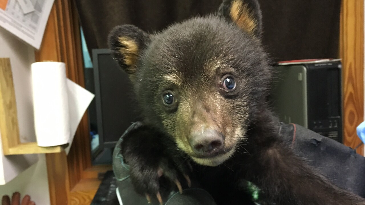 Orphaned cub finds a new family at the Black Bear Research Center