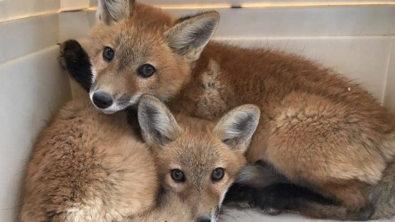 Orphaned baby foxes rescued at Hunt Club Farm in Virginia Beach