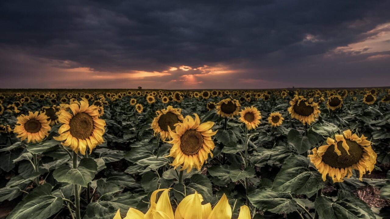Sunflowers_Scott Wilson