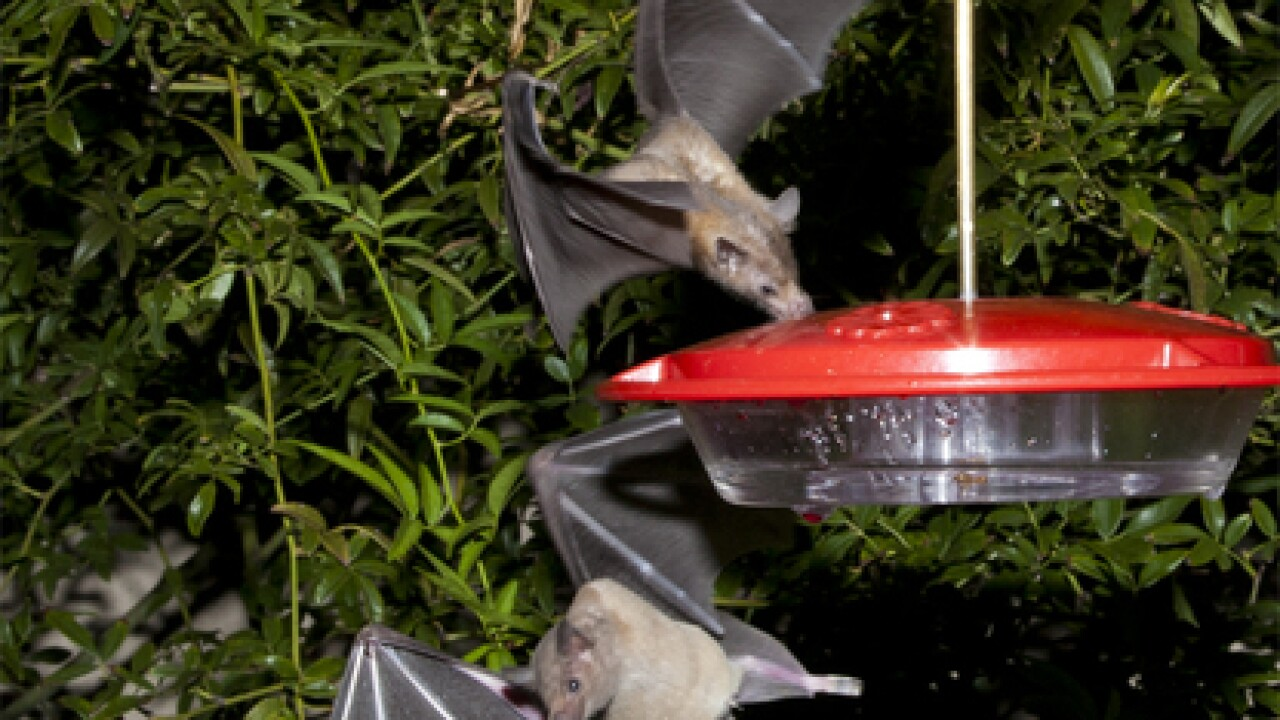 Tequila-producing bat makes a recovery