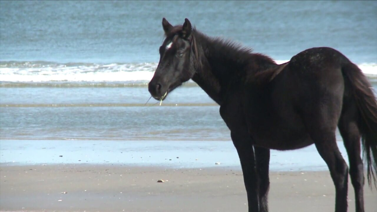 All Ocracoke ponies 'safe' after Hurricane Dorian