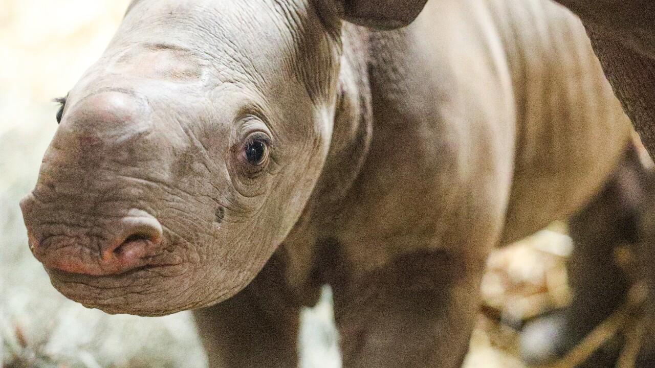 potter park zoo black rhino calf 14.JPG