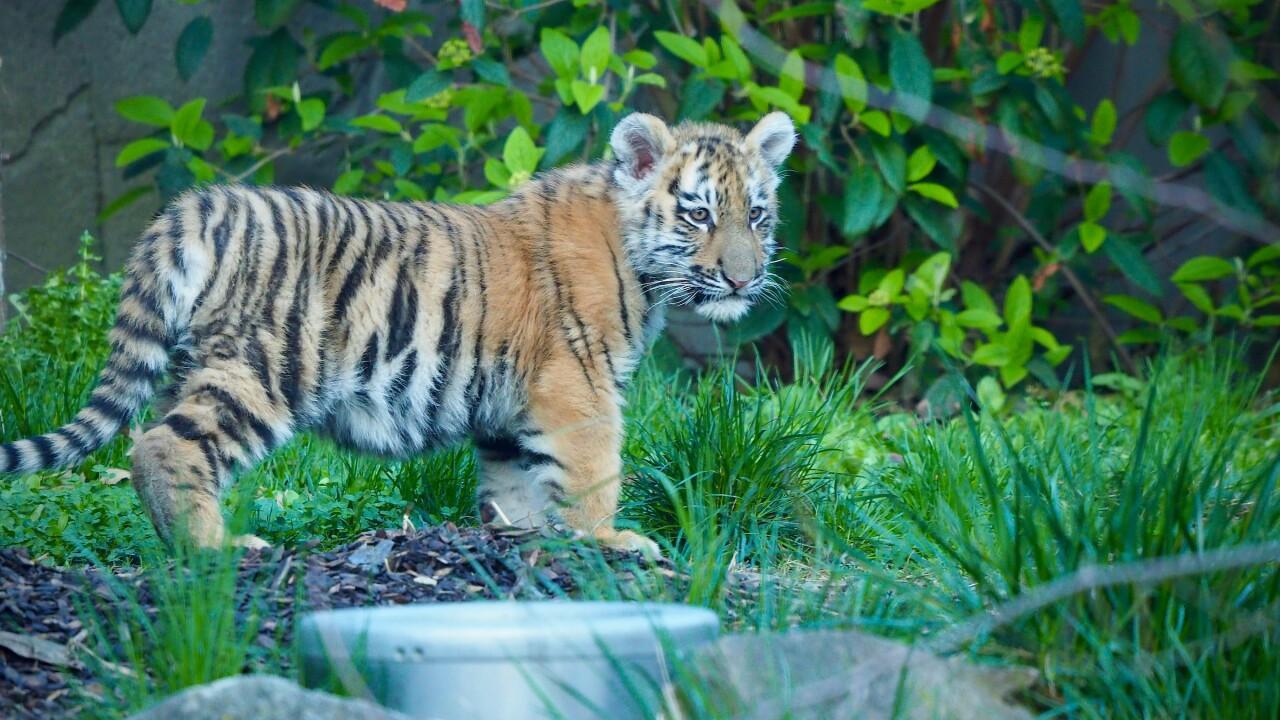 Tiger Cubs on Exhibit April 2021