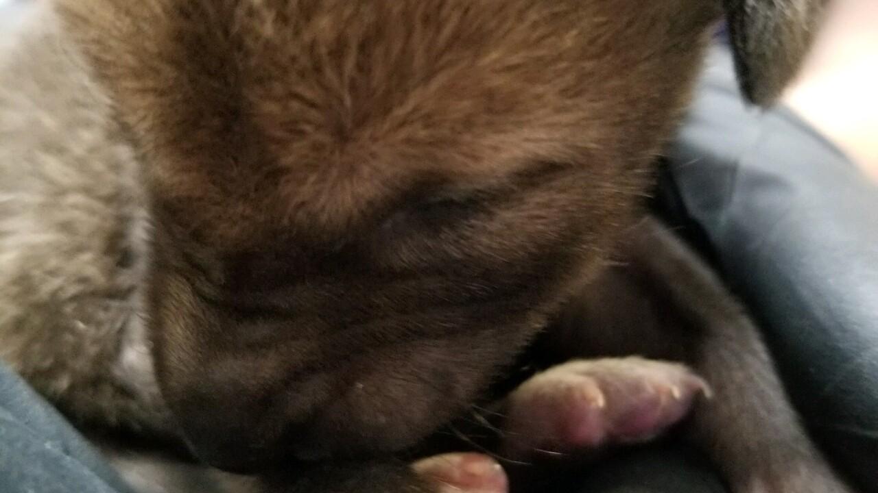 san diego humane coyote pup2.jpg