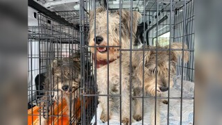 Furry Friends Adoption Clinic in Jupiter is caring for about 20 schnauzers that were rescued from a hoarding situation.