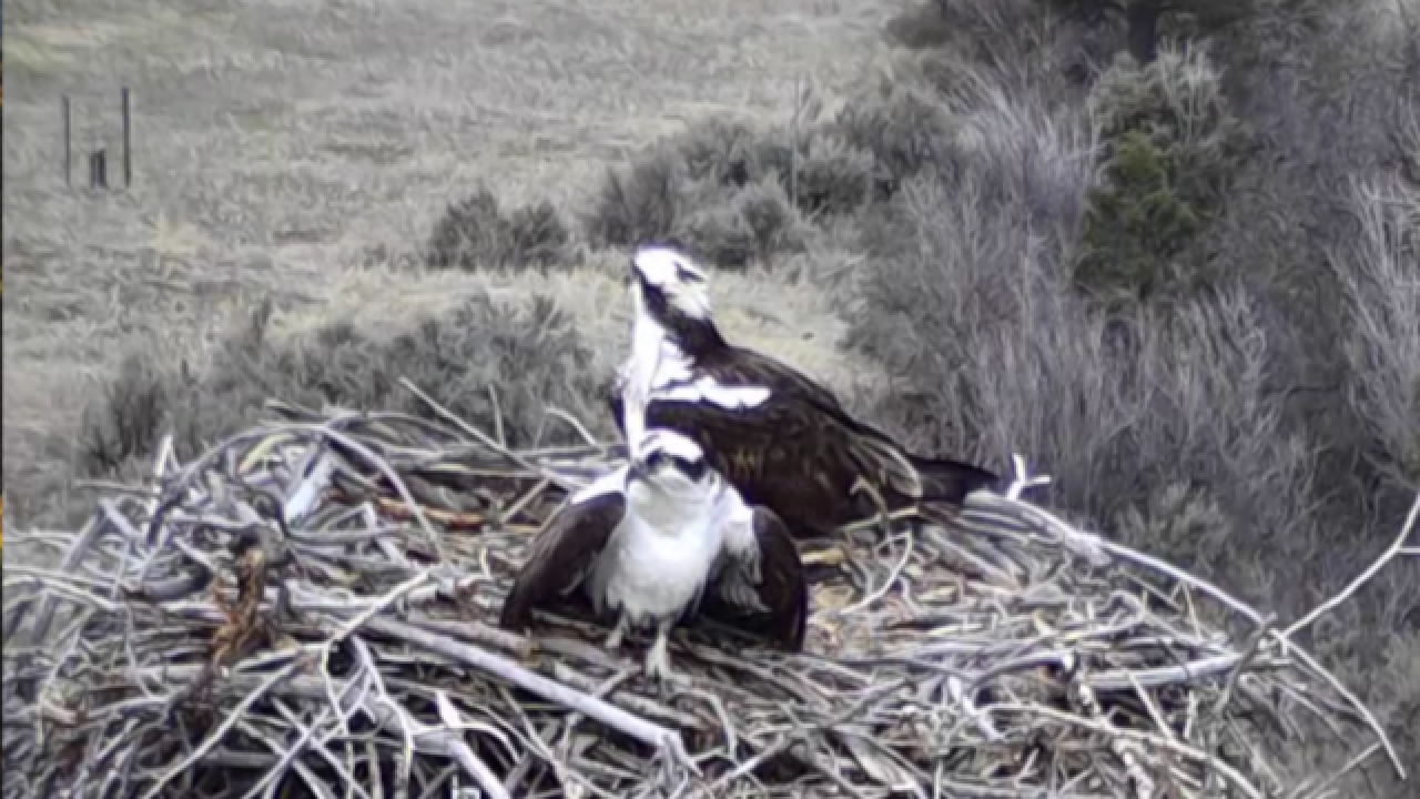 LIVE CAM: Watch osprey nesting in Pitkin County