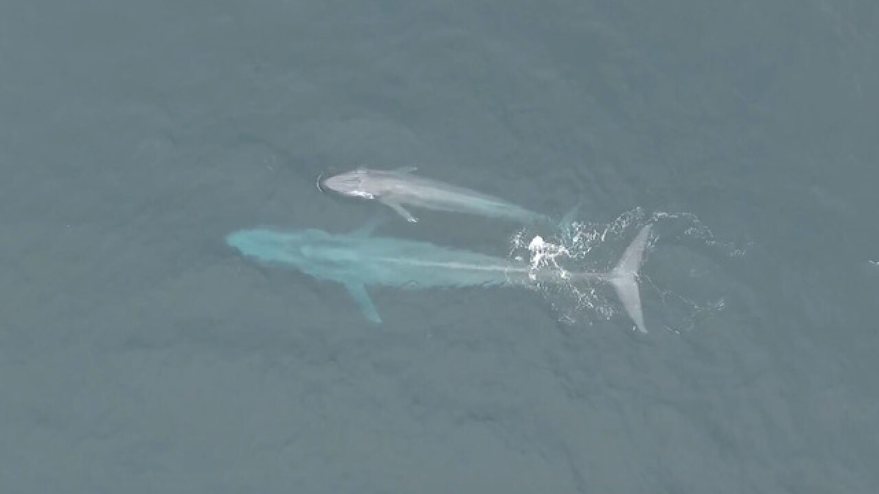 Blue whale sightings increase off SoCal coast
