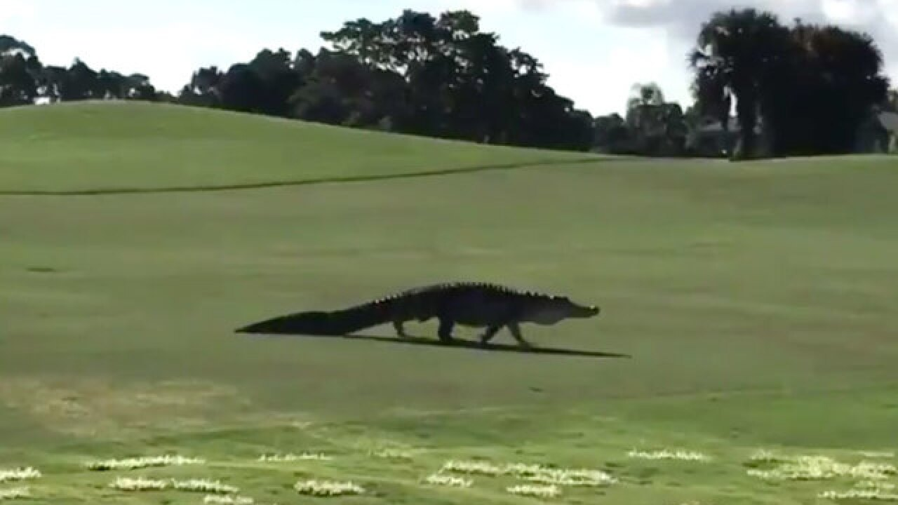 Gator crashes Steve Weagle's golf game