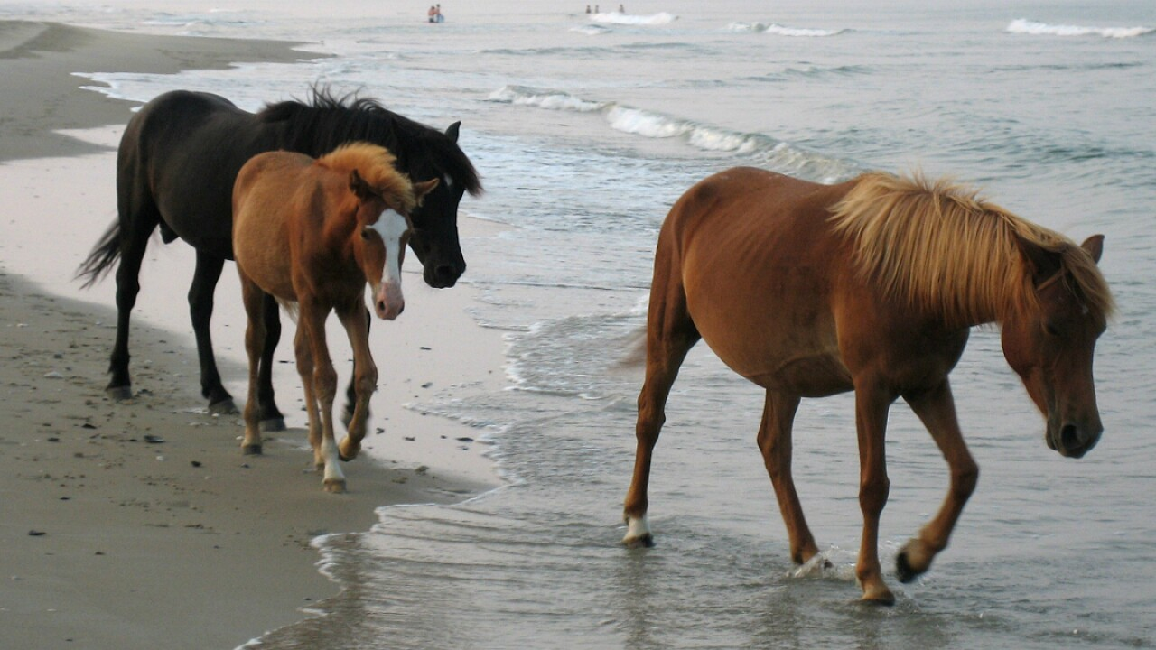 The wild horses of the Outer Banks won't evacuate – they have a special trick to survive hurricanes