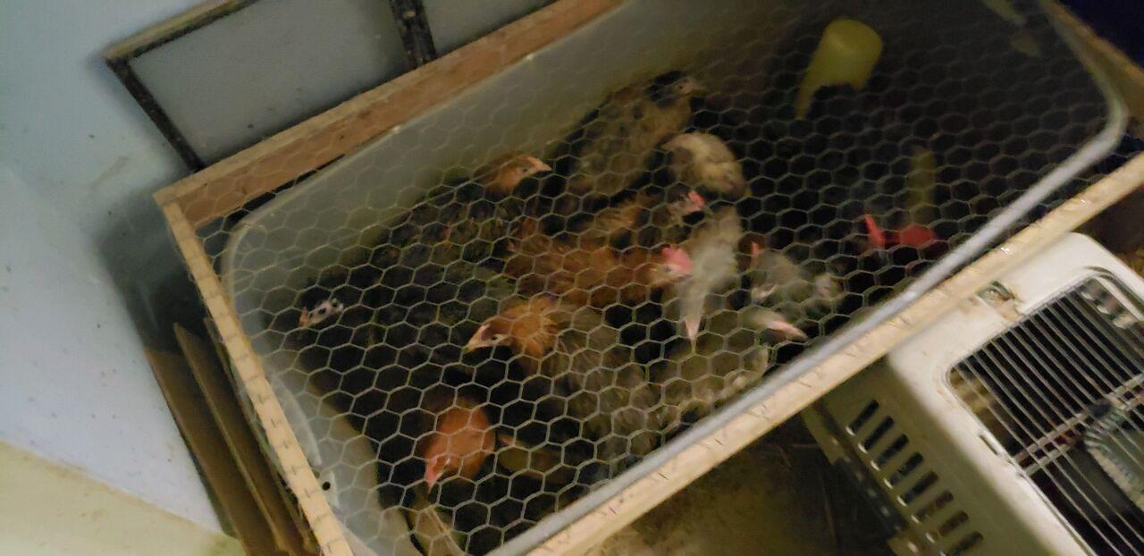 Chicken found in Weiser home