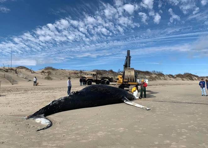 Photos: Necropsy returns for humpback whale that washed ashore inCorolla