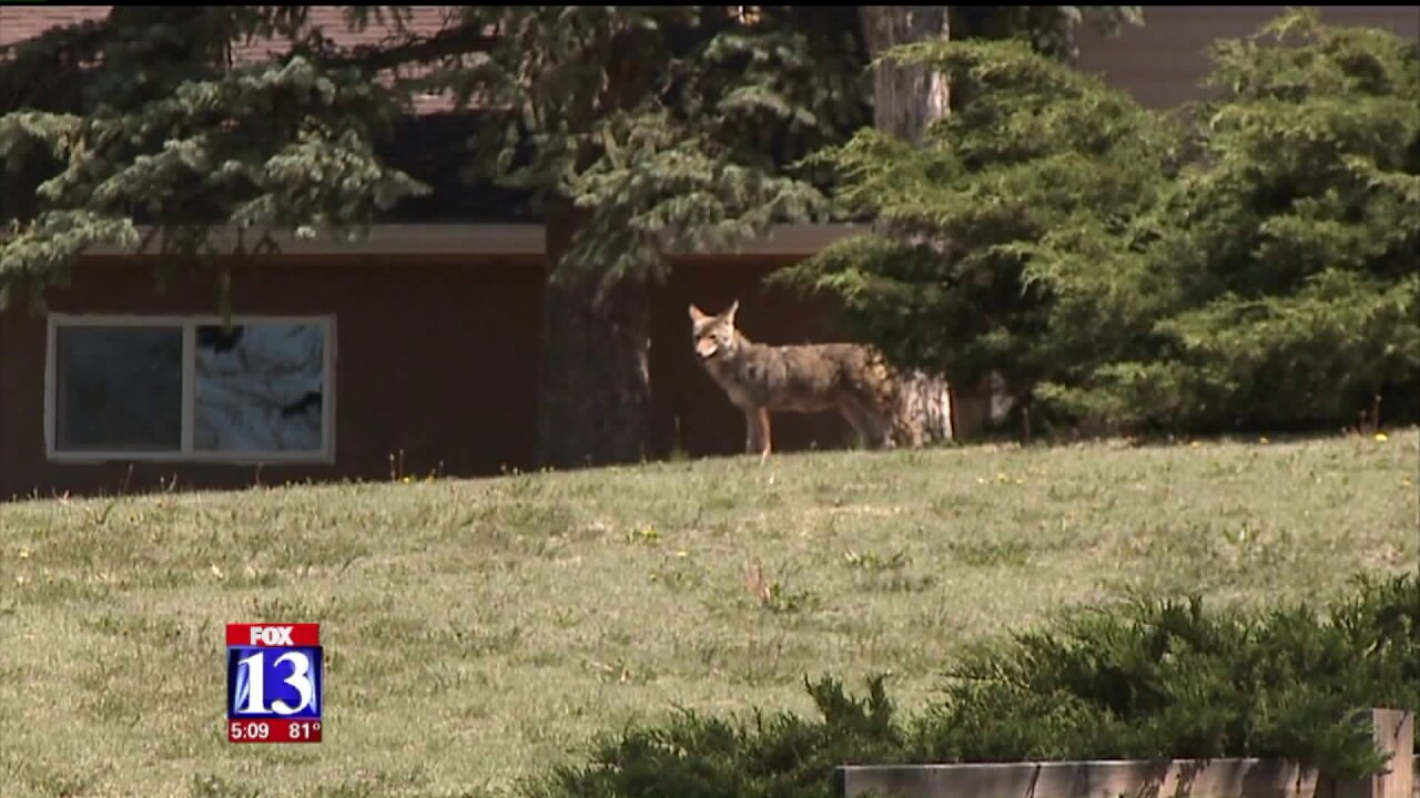 Herriman dog owners on edge after increased coyote sightings and attacks