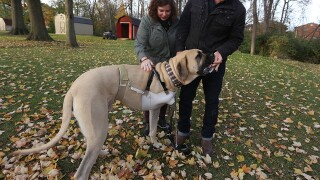 Moose's story: How a 150-pound English mastiff got a new leg on life