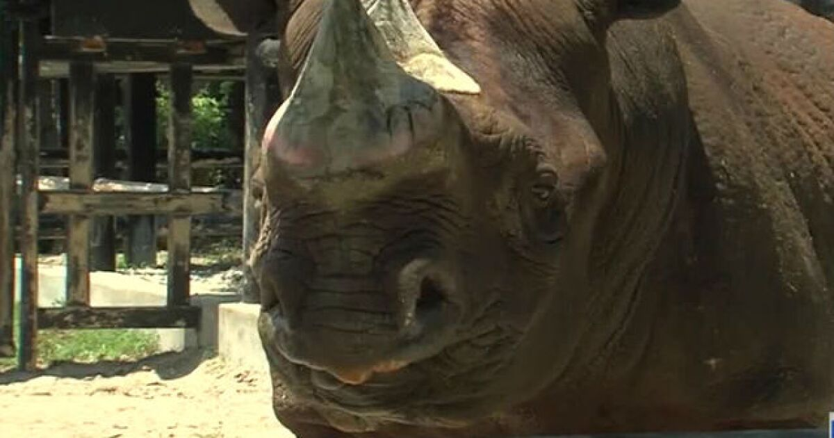 Code Red' called at Kansas City Zoo after rhino partially