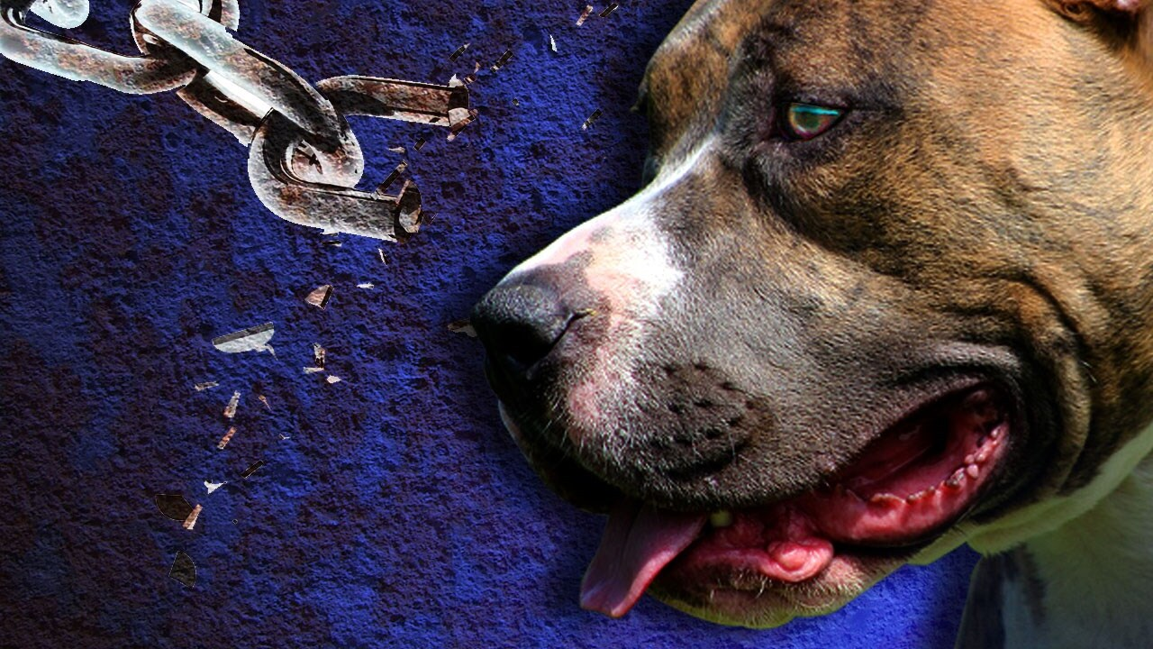 Pit bull attack on 71-year-old woman may have led to discovery of dogfighting operation