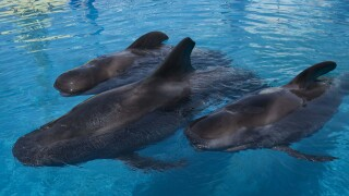 Ava, Ace and Piper - Pilot Whales at SeaWorld San Diego.jpg