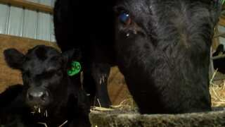 Montana Ag Network: Cold weather calving