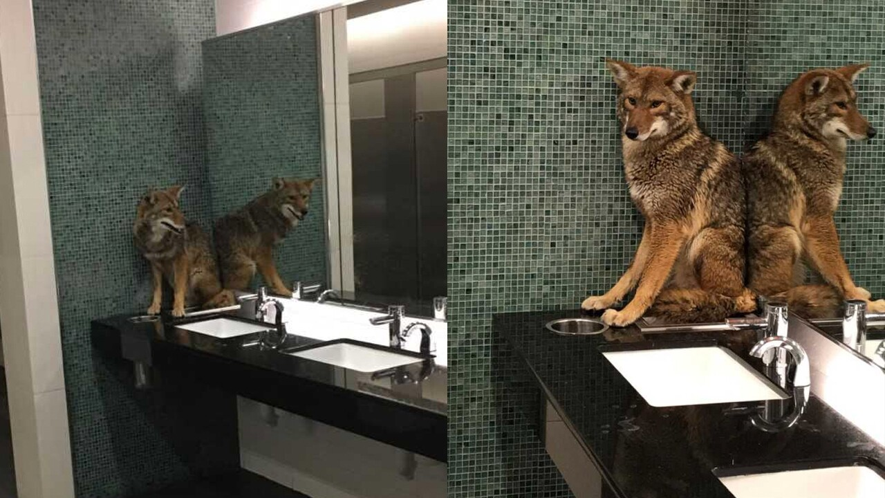 Coyote wanders into Music City Center bathroom