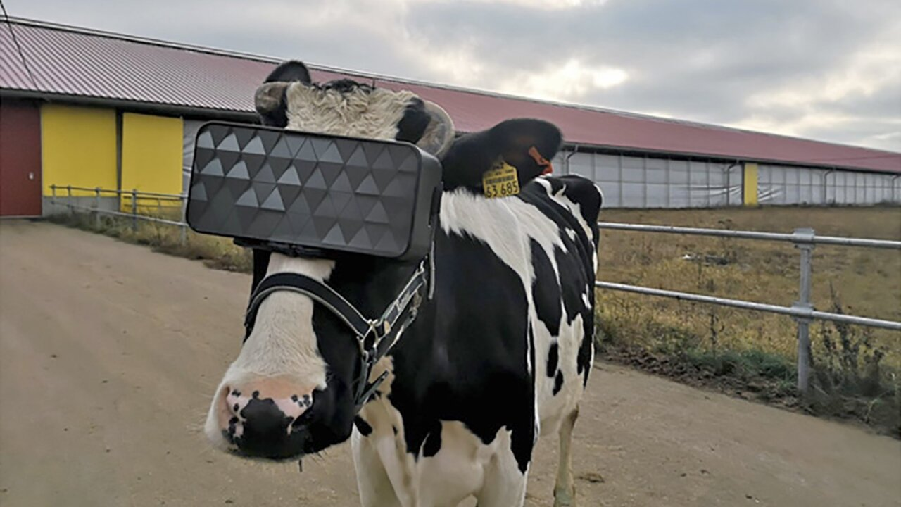 Russian dairy farmers gave cows Virtual Reality goggles with hopes they would be happier and make better milk