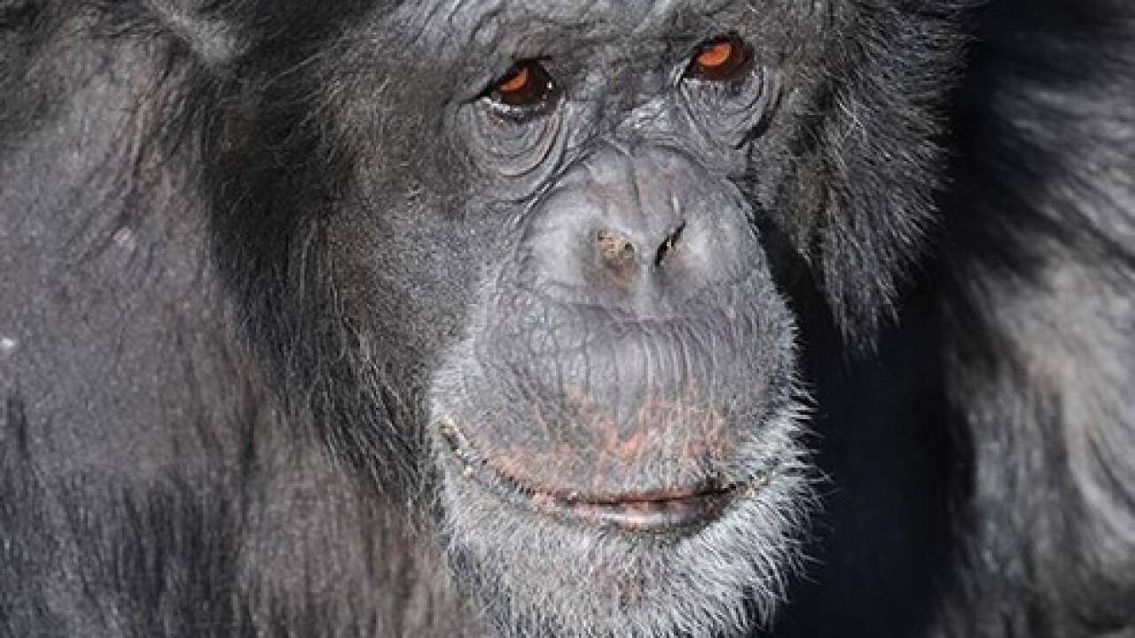 Visitors find Bocco the chimp dead in habitat at Zoo Miami